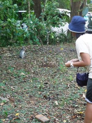 Monyet liar di Pancur